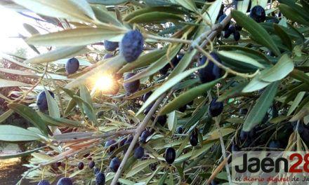 Un estudio de la UJA constata que el consumo de aceites de oliva vírgenes previene la enfermedad arterial periférica, mientras que el consumo de aceite de orujo de oliva podría promover su desarrollo
