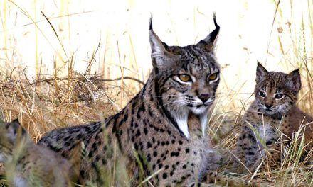 Arranca el nuevo Life Lynxconnect de protección del lince ibérico