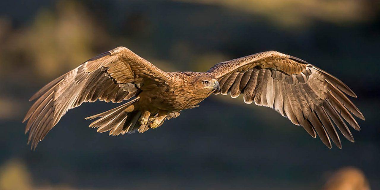 50 parejas de águila imperial surcan los cielos de nuestra provincia